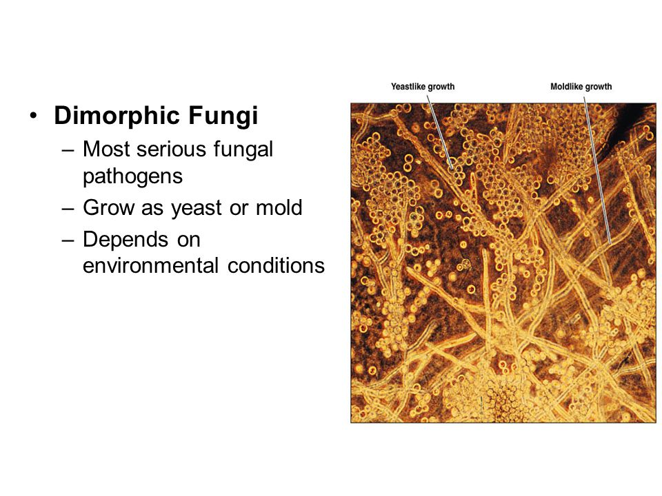 Dimorphic Fungi Most serious fungal pathogens Grow as yeast or mold