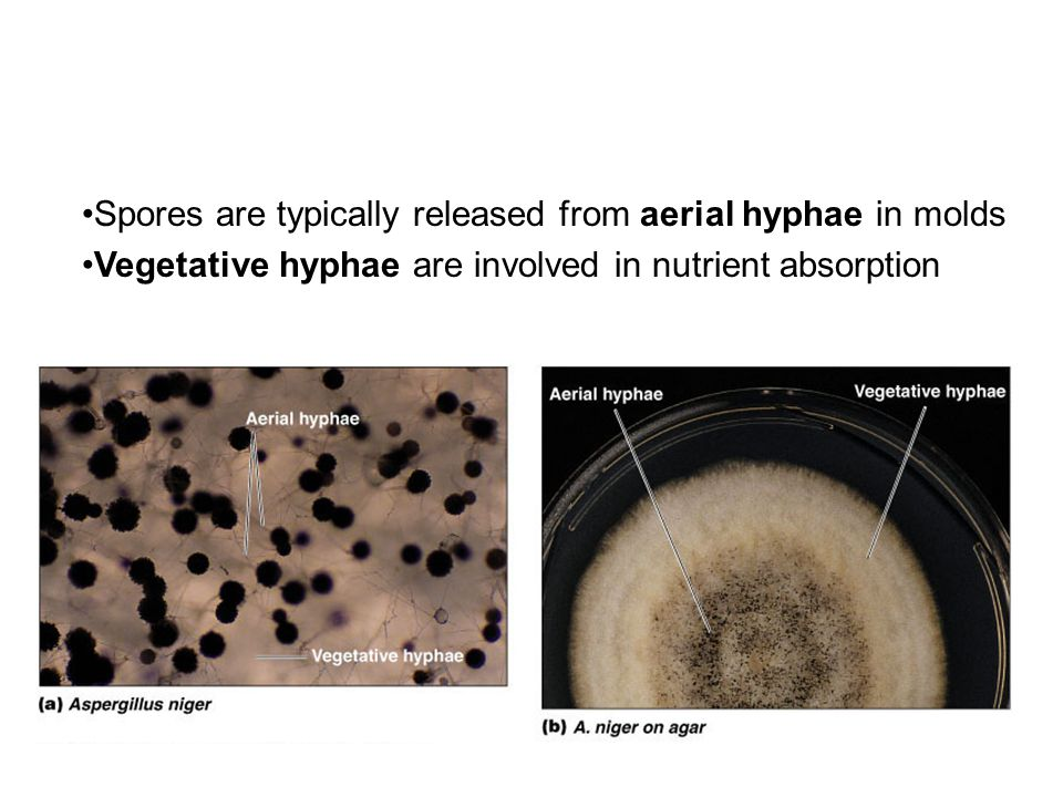 Spores are typically released from aerial hyphae in molds