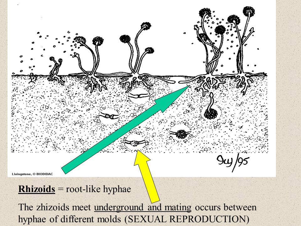 Rhizoids = root-like hyphae