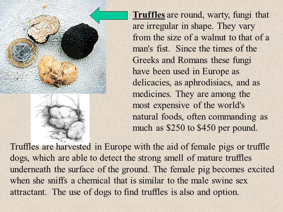 Truffles are round, warty, fungi that are irregular in shape