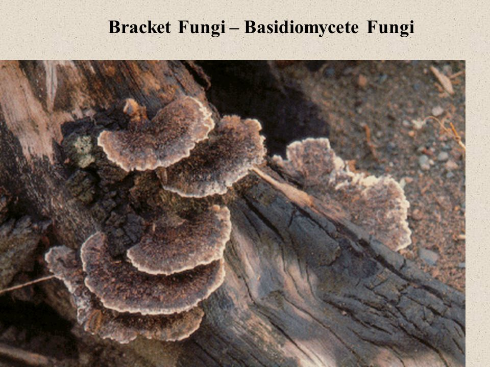 Bracket Fungi – Basidiomycete Fungi