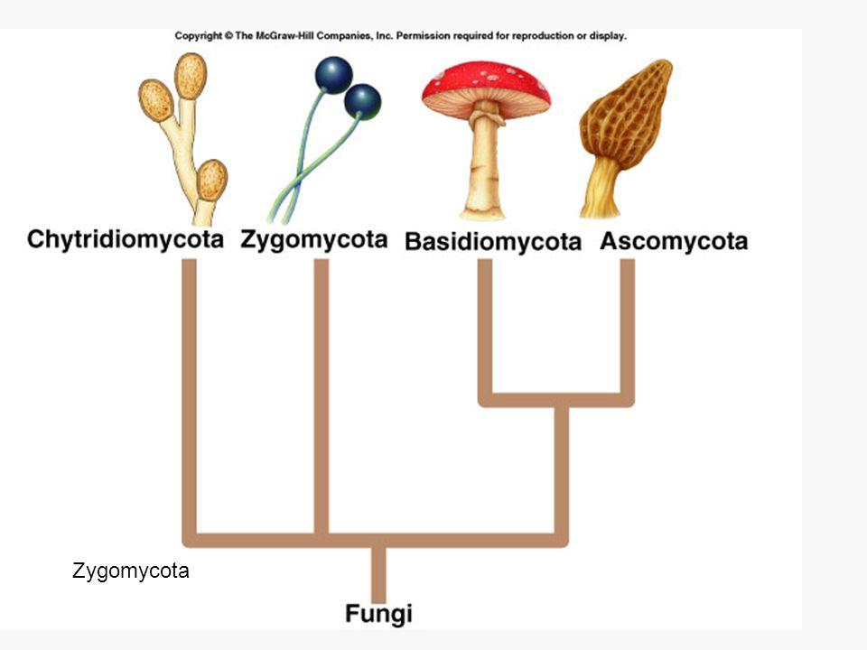 Chytridiomycota Zygomycota