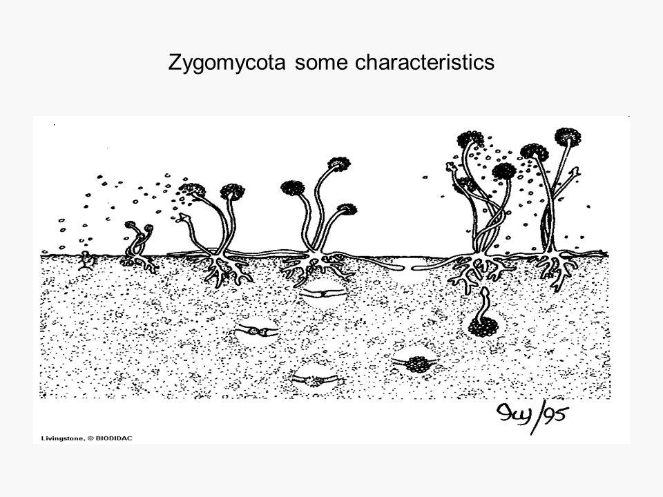 Zygomycota some characteristics