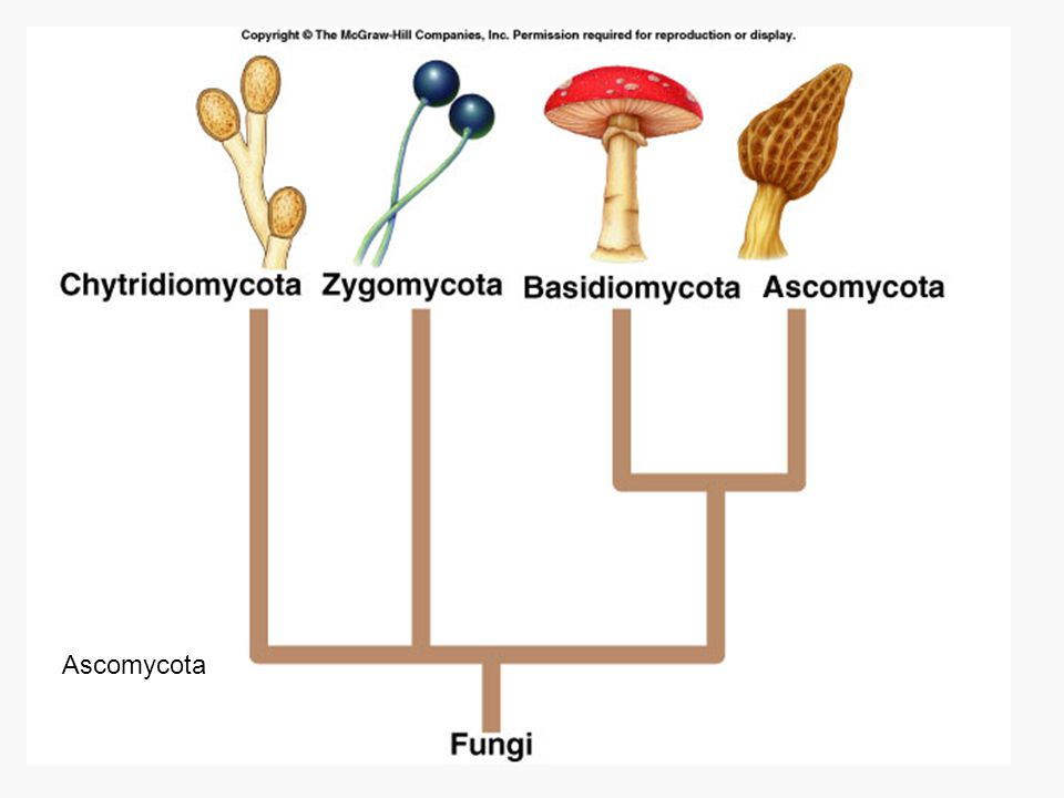 Chytridiomycota Ascomycota