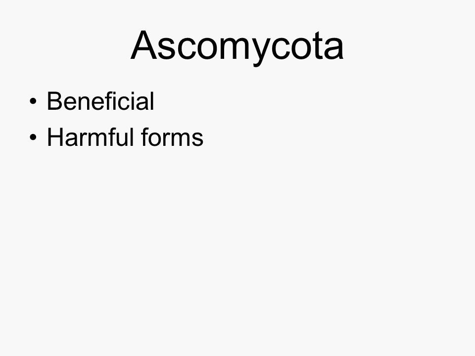 Ascomycota Beneficial Harmful forms