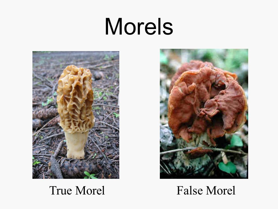 Morels True Morel False Morel