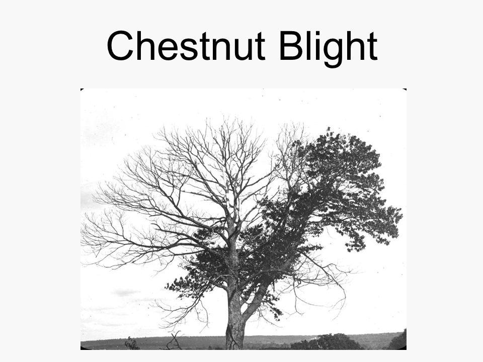 Chestnut Blight