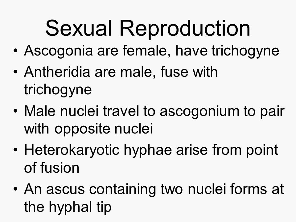 Sexual Reproduction Ascogonia are female, have trichogyne