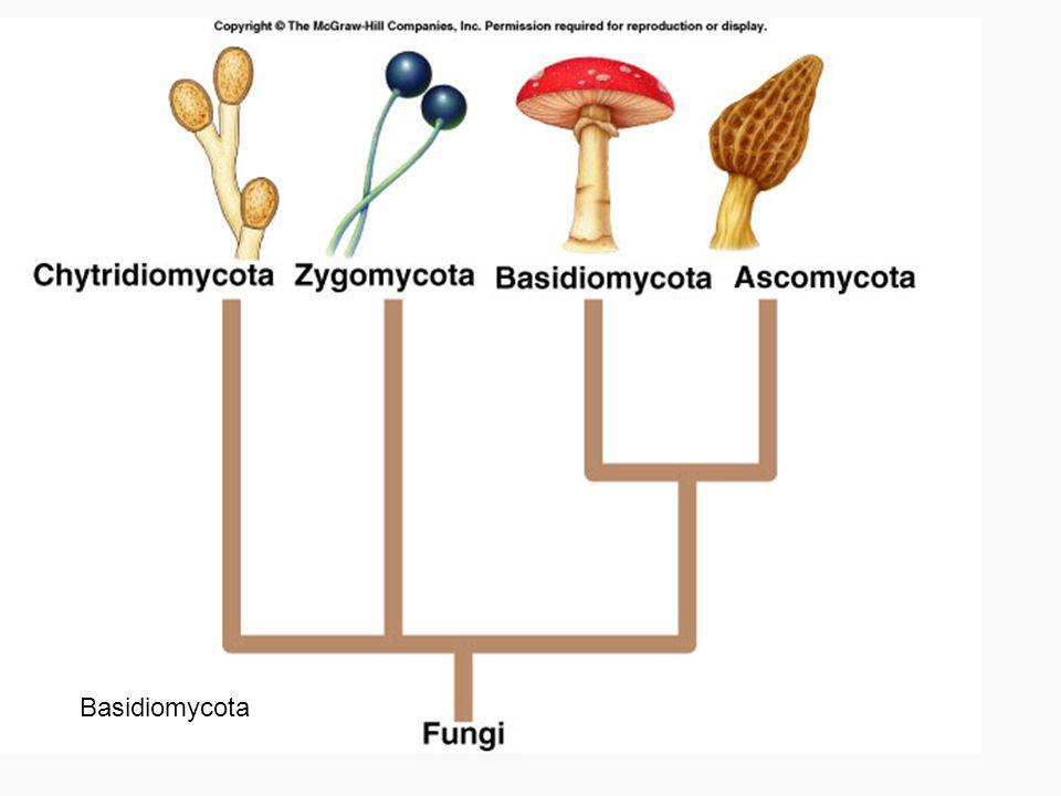 Chytridiomycota Basidiomycota
