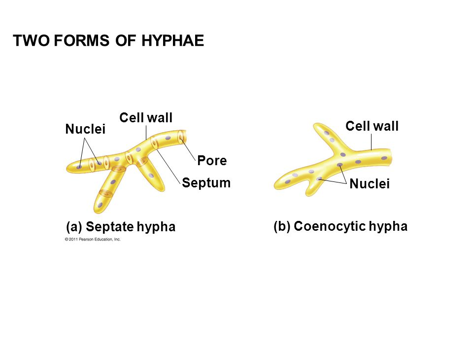 TWO FORMS OF HYPHAE Cell wall Nuclei Cell wall Pore Septum Nuclei
