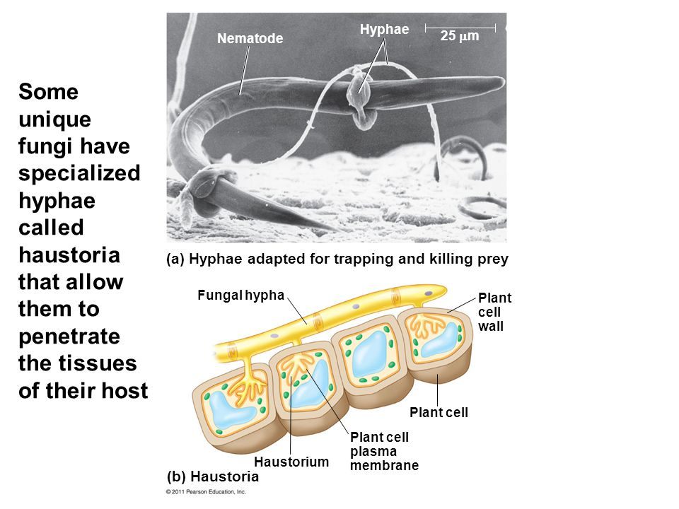 Some unique fungi have specialized hyphae called haustoria that allow them to penetrate the tissues of their host