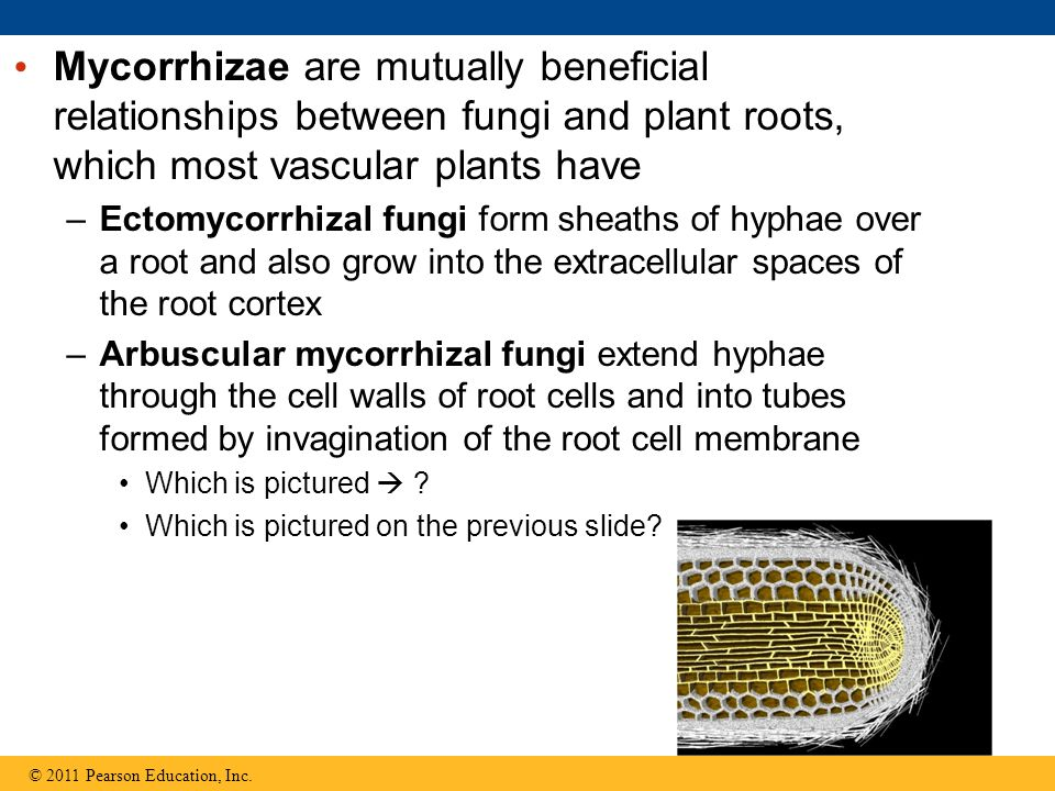 Mycorrhizae are mutually beneficial relationships between fungi and plant roots, which most vascular plants have