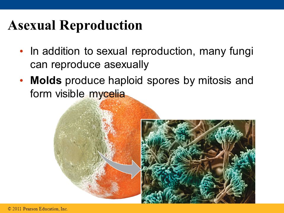 Asexual Reproduction In addition to sexual reproduction, many fungi can reproduce asexually.