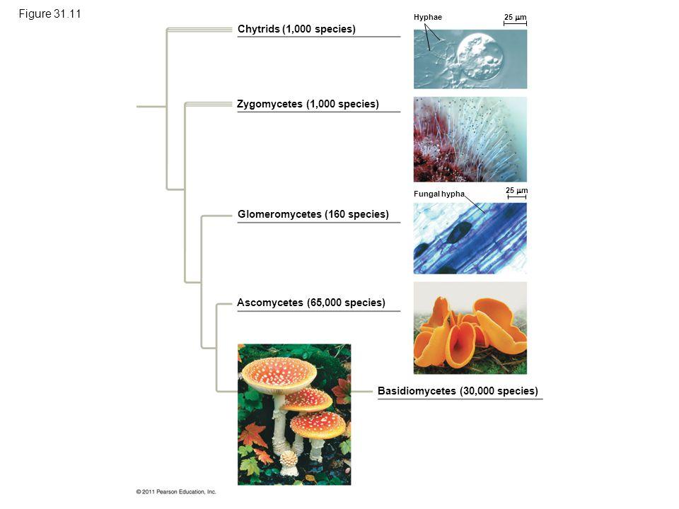 Figure 31.11 Exploring: Fungal Diversity