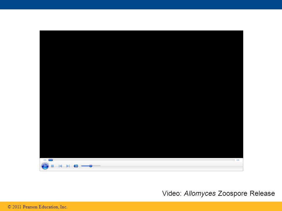 Video: Allomyces Zoospore Release