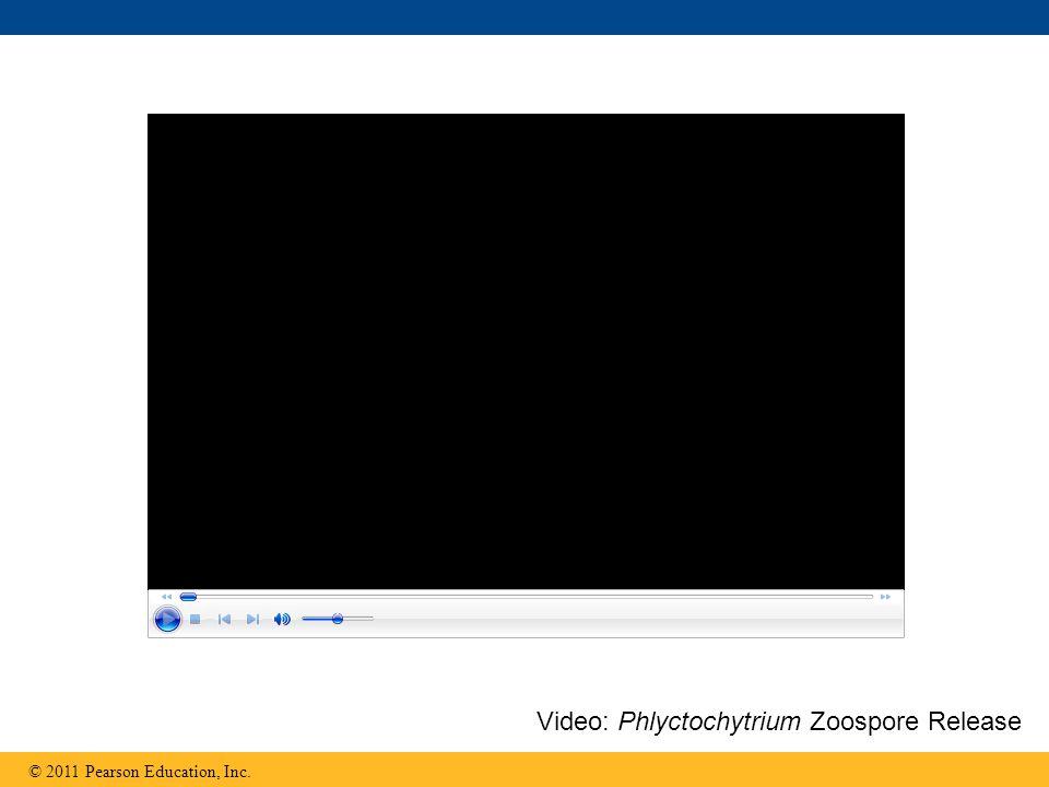 Video: Phlyctochytrium Zoospore Release