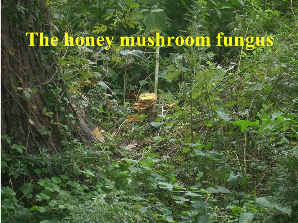 The honey mushroom fungus