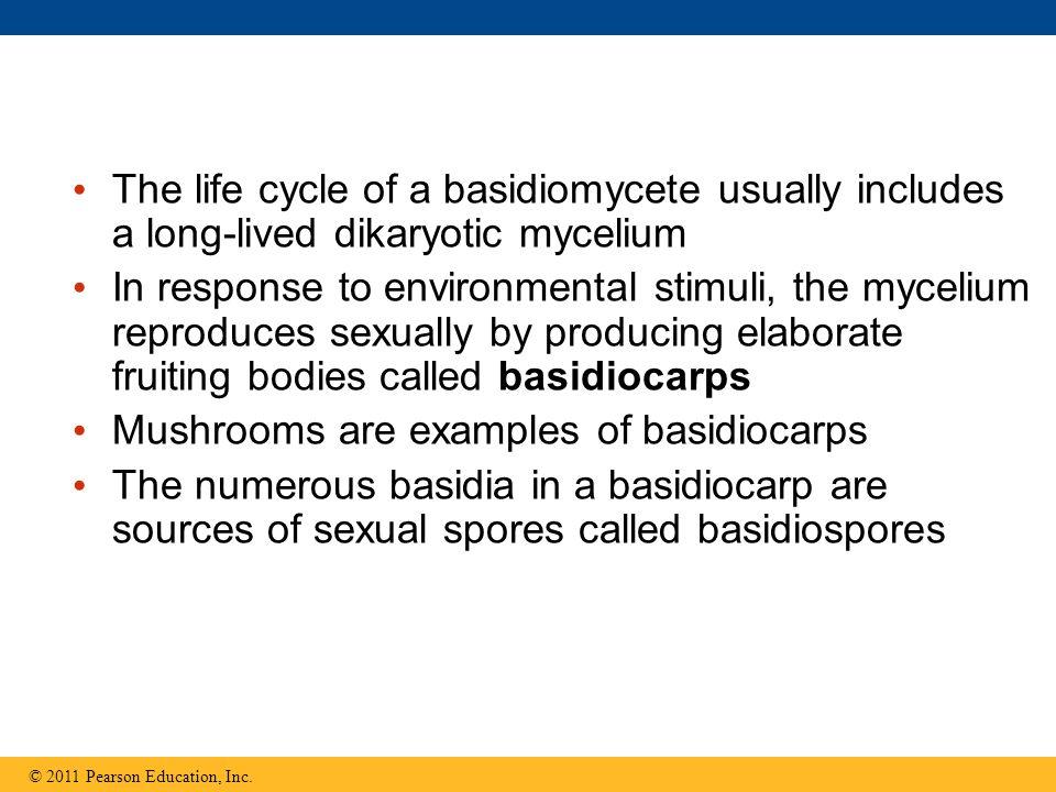 Mushrooms are examples of basidiocarps