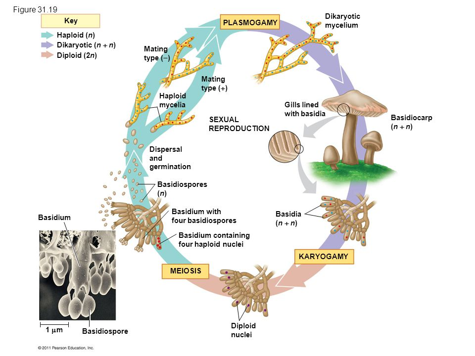 Figure 31.19 The life cycle of a mushroom-forming basidiomycete.