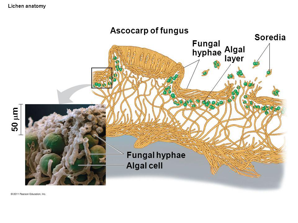 Ascocarp of fungus Soredia Fungal hyphae Algal layer 50 m