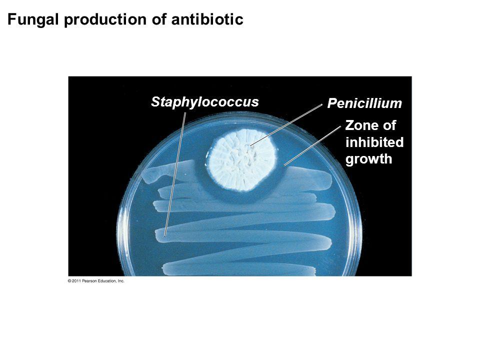 Fungal production of antibiotic