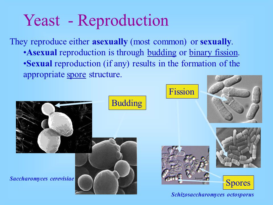 Yeast - Reproduction They reproduce either asexually (most common) or sexually. Asexual reproduction is through budding or binary fission.