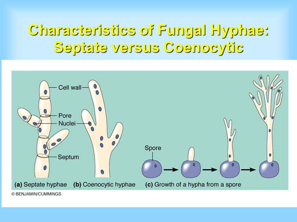 Characteristics of Fungal Hyphae: Septate versus Coenocytic