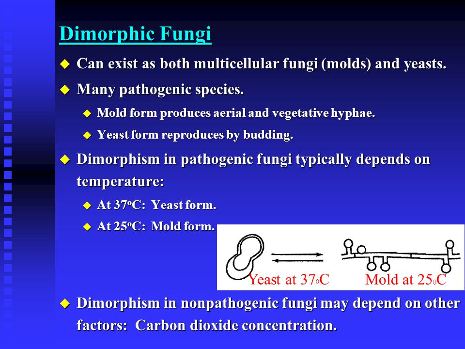 Dimorphic Fungi Can exist as both multicellular fungi (molds) and yeasts. Many pathogenic species.