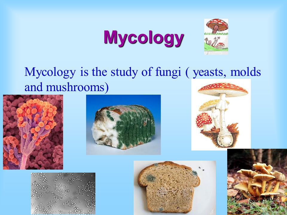 Mycology Mycology is the study of fungi ( yeasts, molds and mushrooms)