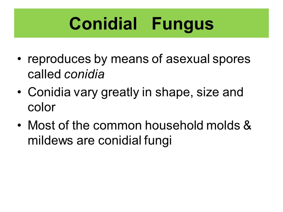 Conidial Fungus reproduces by means of asexual spores called conidia
