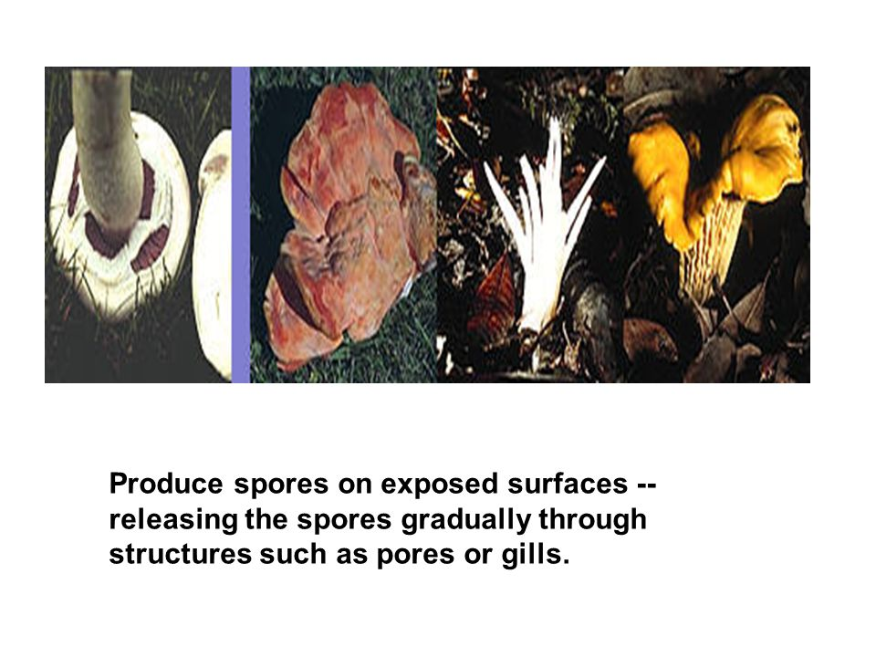 Produce spores on exposed surfaces -- releasing the spores gradually through structures such as pores or gills.