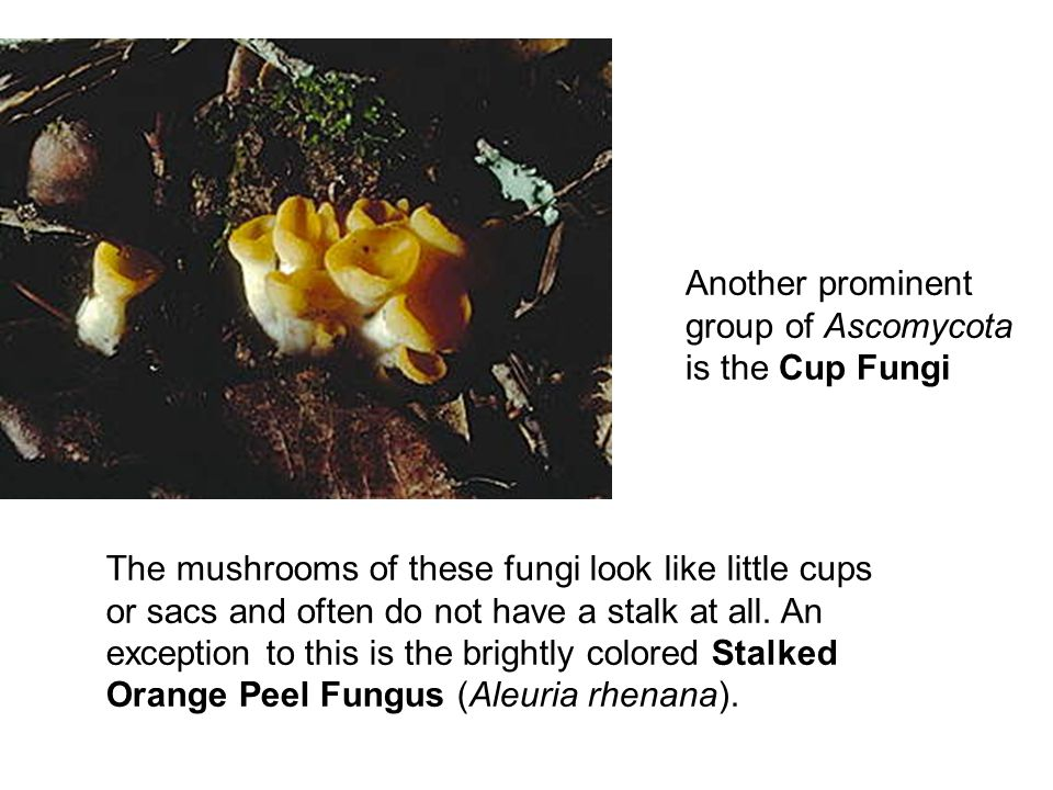 Another prominent group of Ascomycota is the Cup Fungi