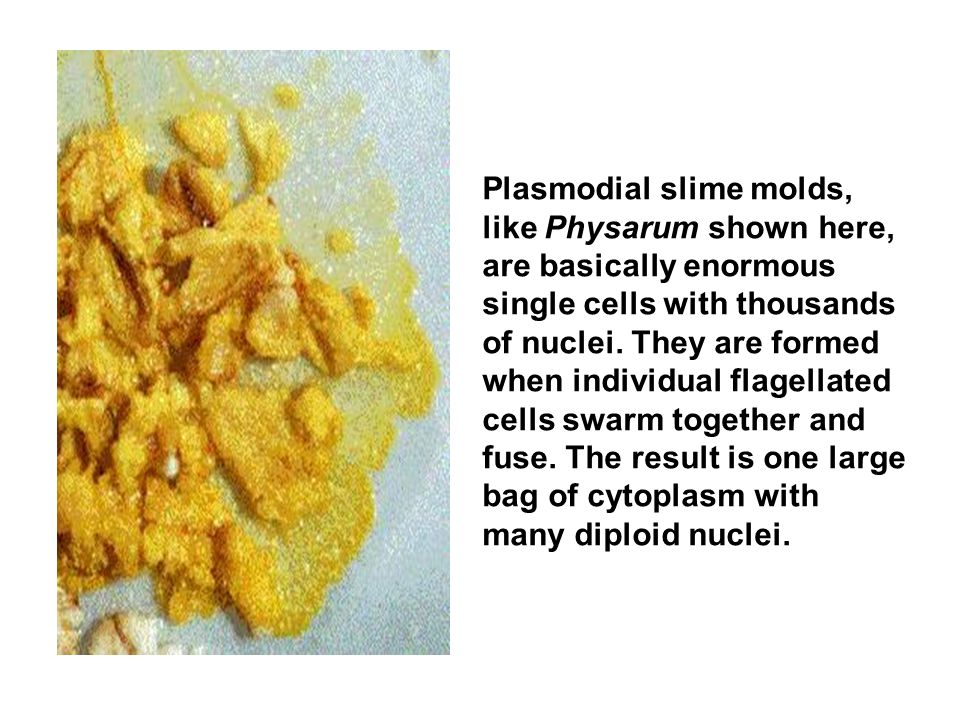 Plasmodial slime molds, like Physarum shown here, are basically enormous single cells with thousands of nuclei.