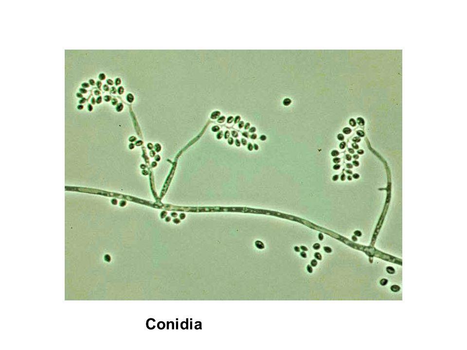 Conidia