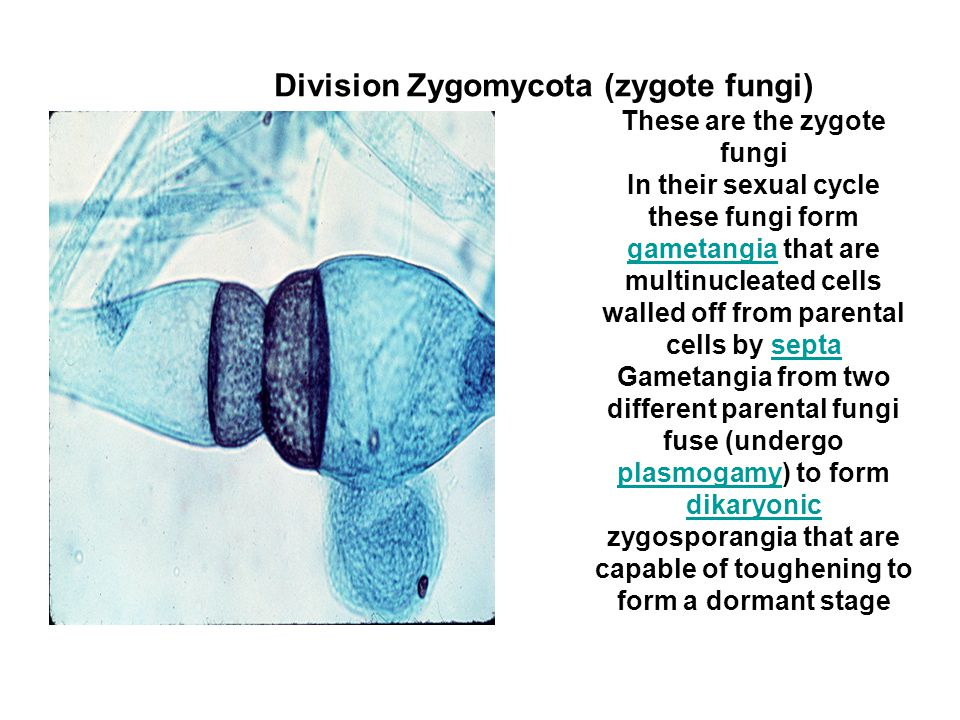 These are the zygote fungi