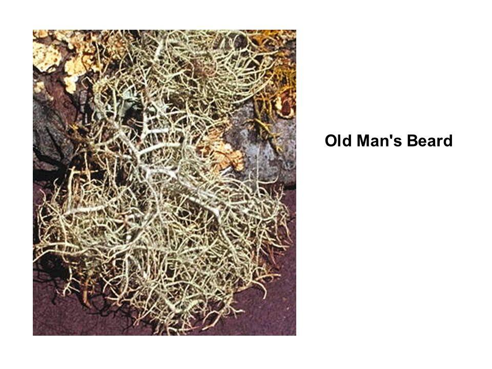 Old Man s Beard