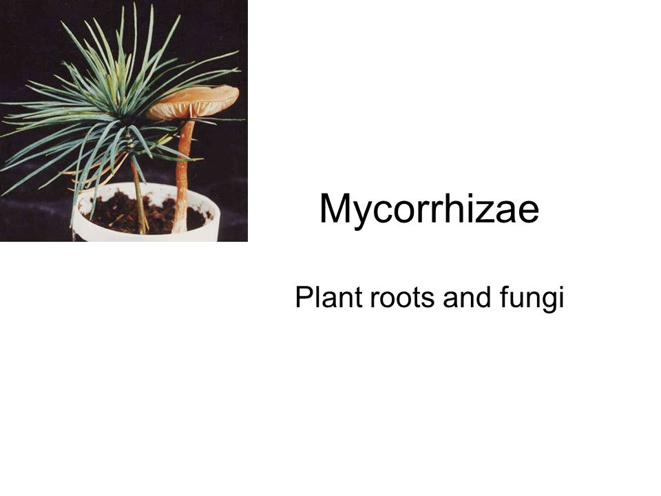 Mycorrhizae Plant roots and fungi