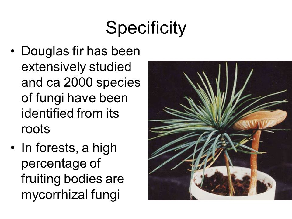 Specificity Douglas fir has been extensively studied and ca 2000 species of fungi have been identified from its roots.