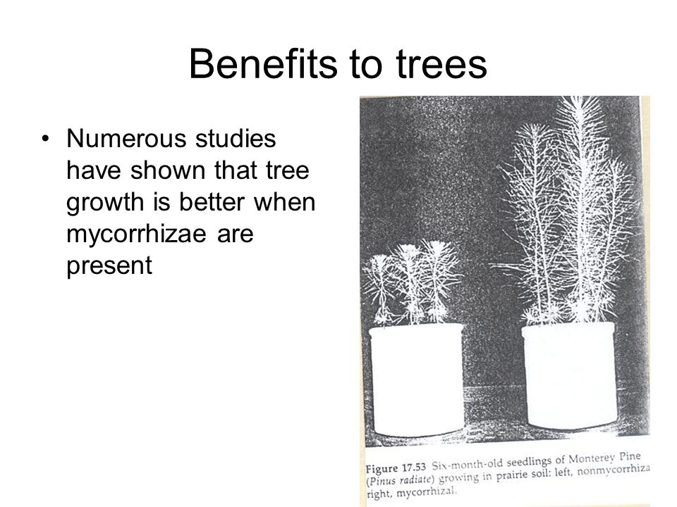 Benefits to trees Numerous studies have shown that tree growth is better when mycorrhizae are present.