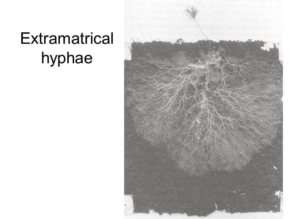 Extramatrical hyphae