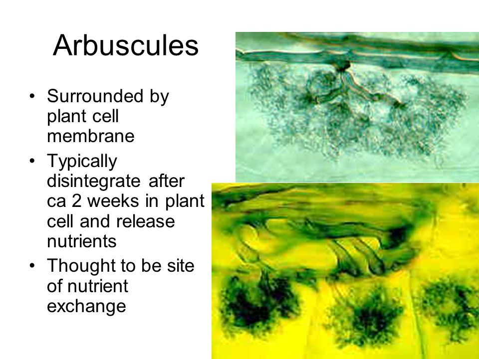Arbuscules Surrounded by plant cell membrane