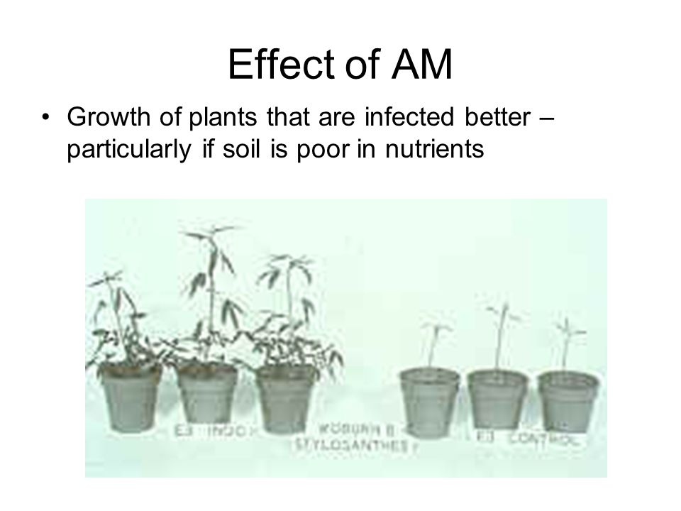 Effect of AM Growth of plants that are infected better – particularly if soil is poor in nutrients