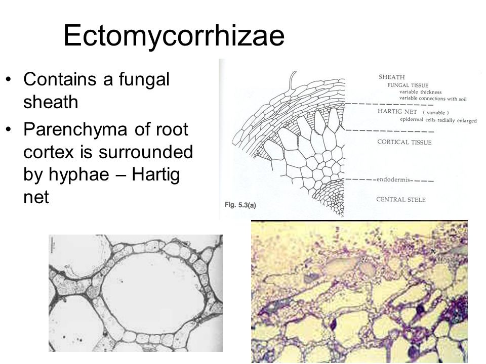 Ectomycorrhizae Contains a fungal sheath