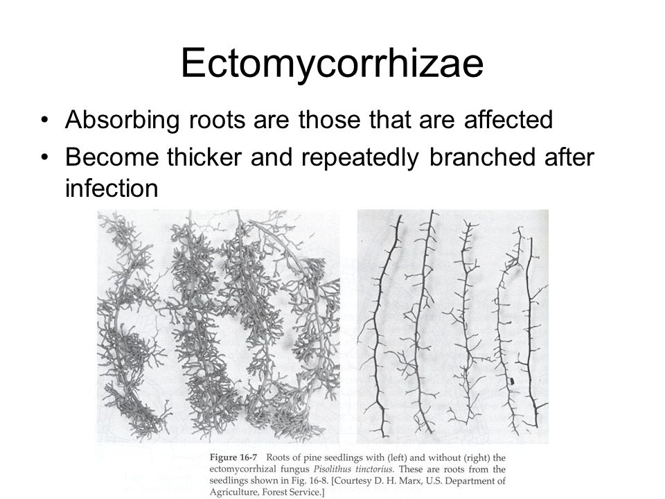 Ectomycorrhizae Absorbing roots are those that are affected