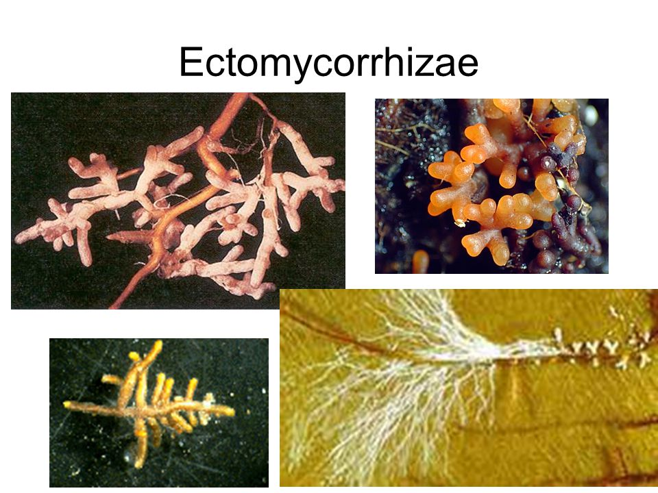 mycorrhizae plant roots and fungi ppt video online download