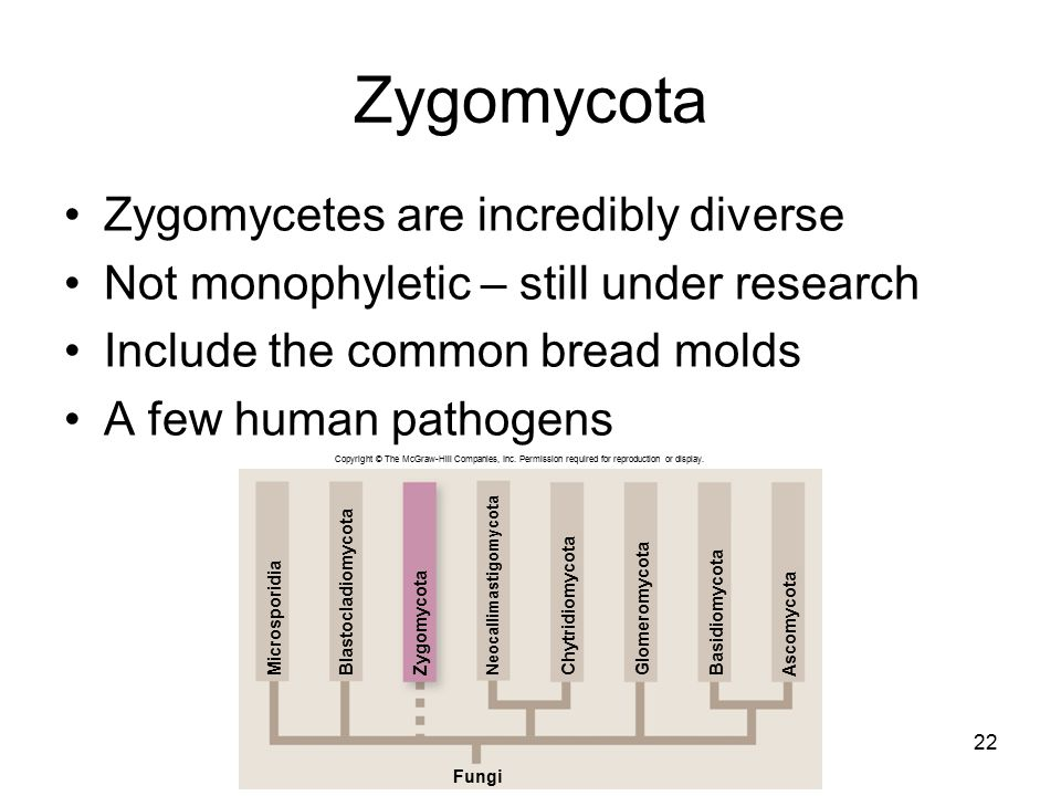 Zygomycota Zygomycetes are incredibly diverse