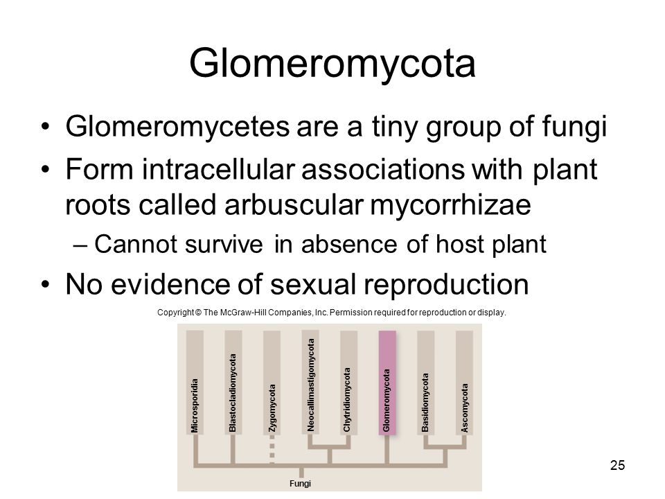 Glomeromycota Glomeromycetes are a tiny group of fungi