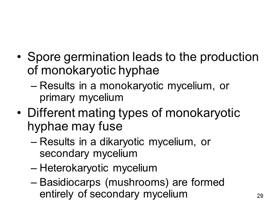 Spore germination leads to the production of monokaryotic hyphae
