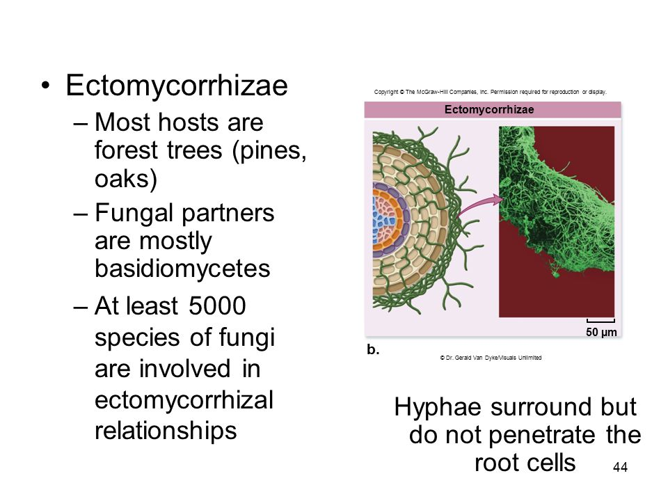 Ectomycorrhizae Most hosts are forest trees (pines, oaks)
