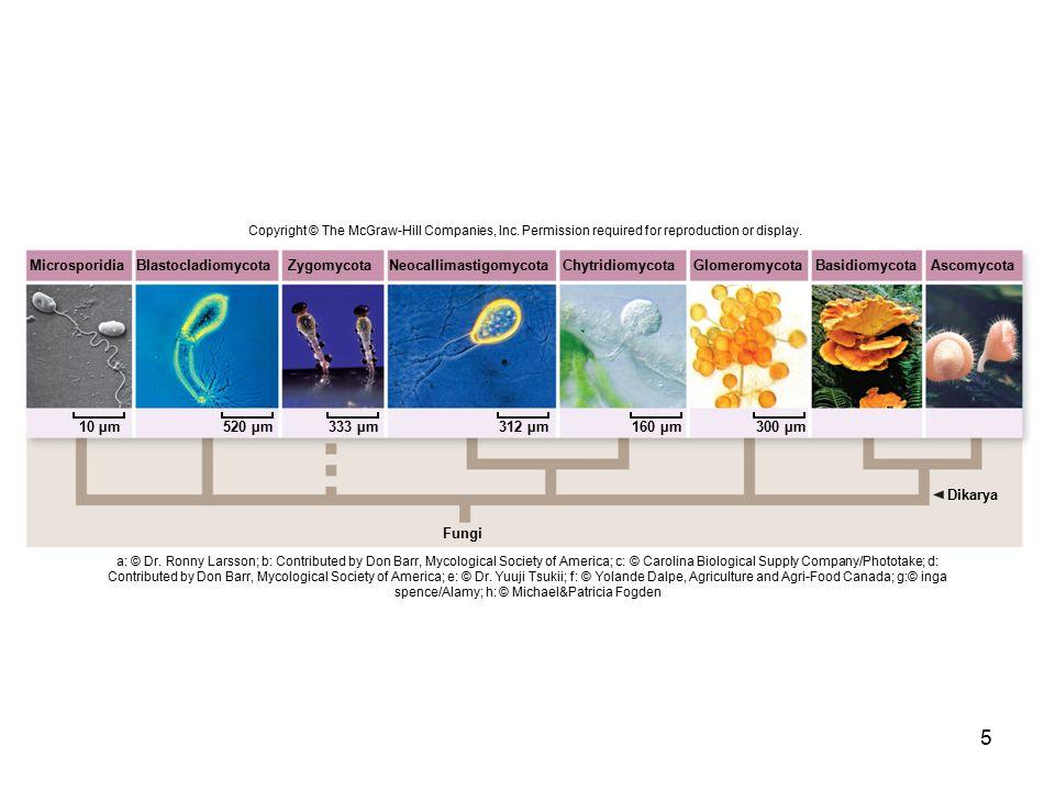 Neocallimastigomycota Chytridiomycota Glomeromycota Basidiomycota